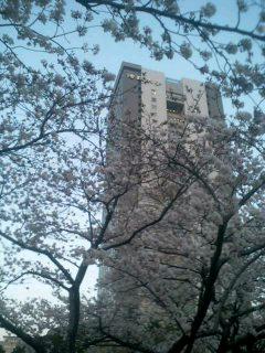 桜、舞い散る中に